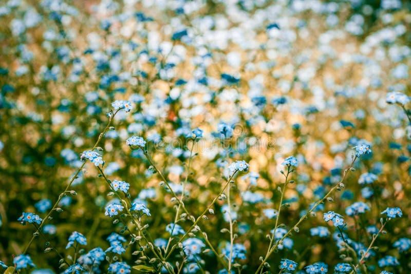 Beau oubliez-moi pas des fleurs en été sur le fond brouillé image stock