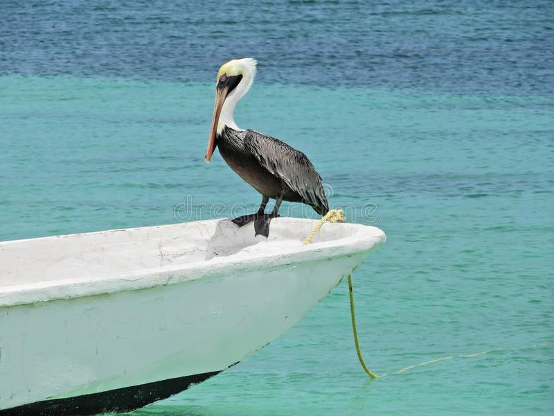 Beau pélican sur le bateau en mer des Caraïbes photo stock