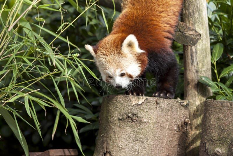 Beau panda rouge sauvage s'élevant vers le bas en bas d'un arbre images libres de droits