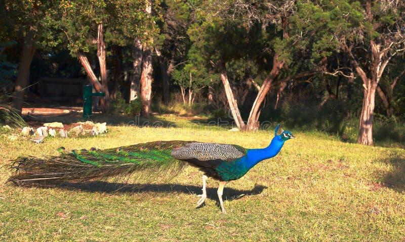 Beau paon cachant son plumage photographie stock