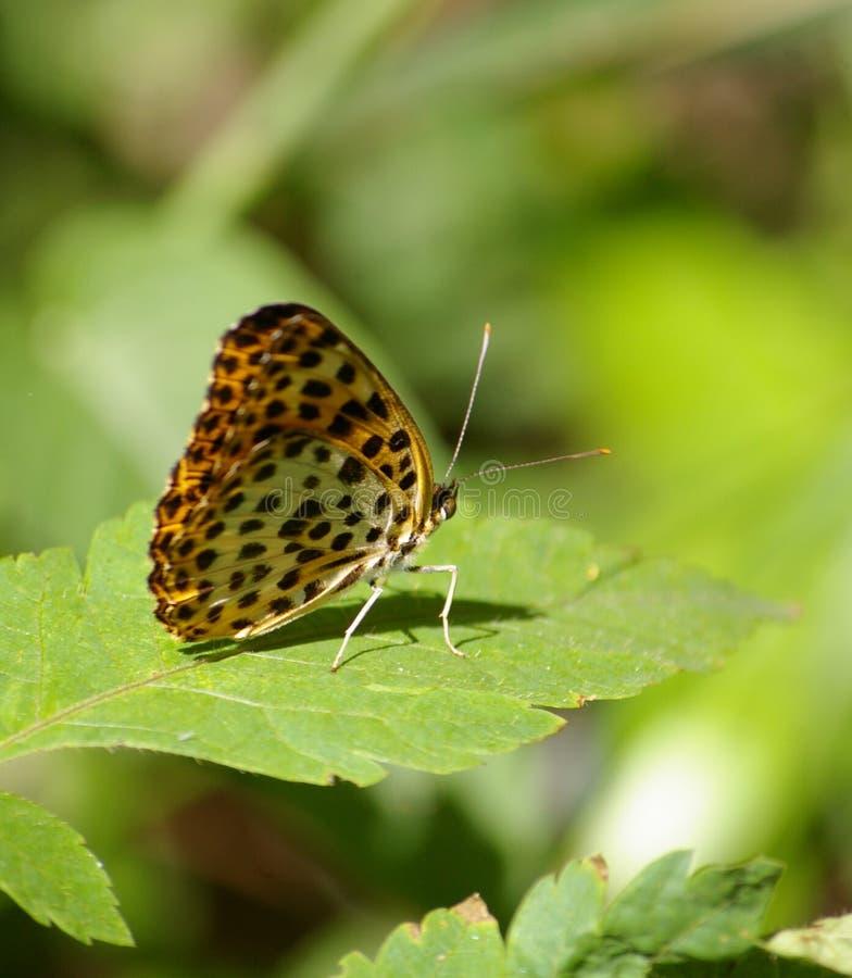 Beau papillon image stock