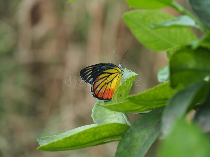 Beau papillon avec la feuille photographie stock