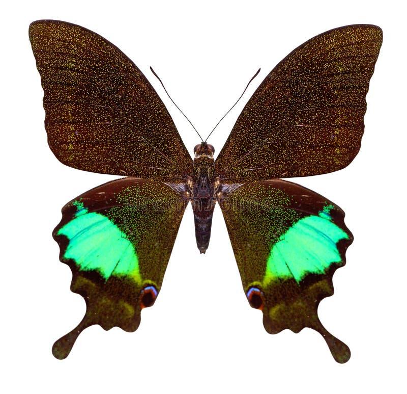 Beau papillon d'isolement sur le blanc photographie stock libre de droits