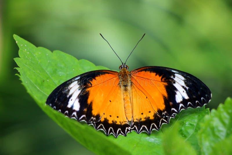 Beau papillon de Lacewing de léopard photographie stock