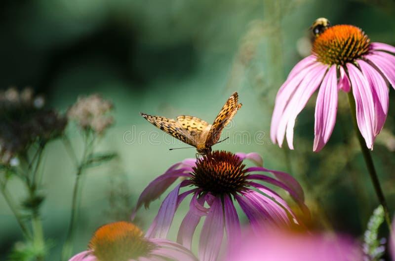 Beau papillon de monarque sur un wildflower pourpre de coneflower photos stock