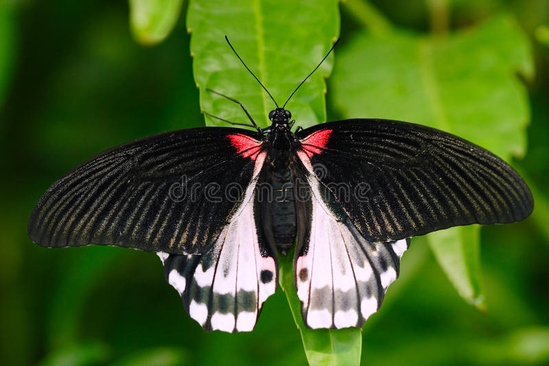 Beau papillon du Bornéo Machaon d'écarlate, rumanzovia de Papilio, se reposant sur les feuilles vertes Insecte dans des avants tr photo stock
