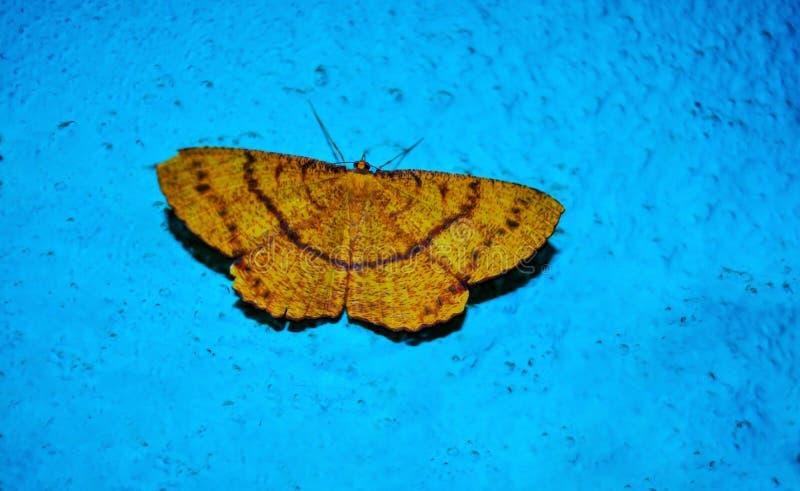 Beau papillon jaune avec le fond bleu images libres de droits