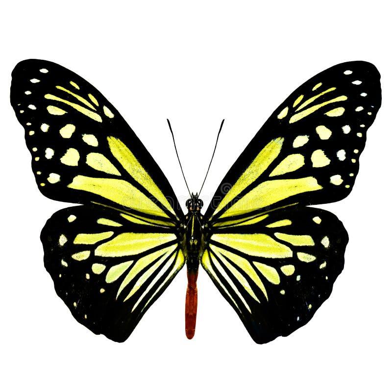 Beau papillon jaune pâle, mela de Tiger Parantica de chocolat photographie stock libre de droits