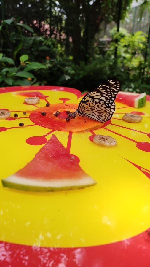 Beau papillon mangeant du fruit de papaye photos stock
