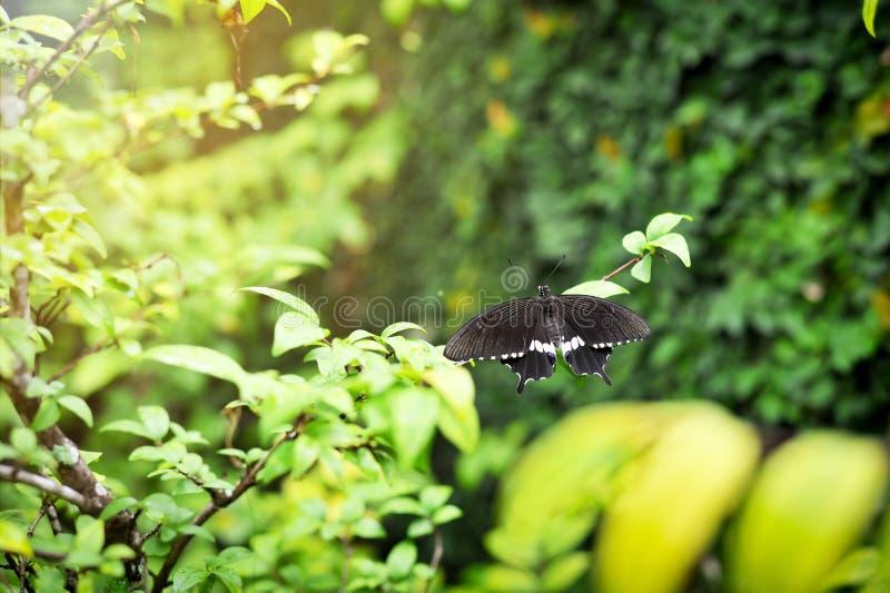 Beau papillon noir et blanc sur des feuilles photo stock
