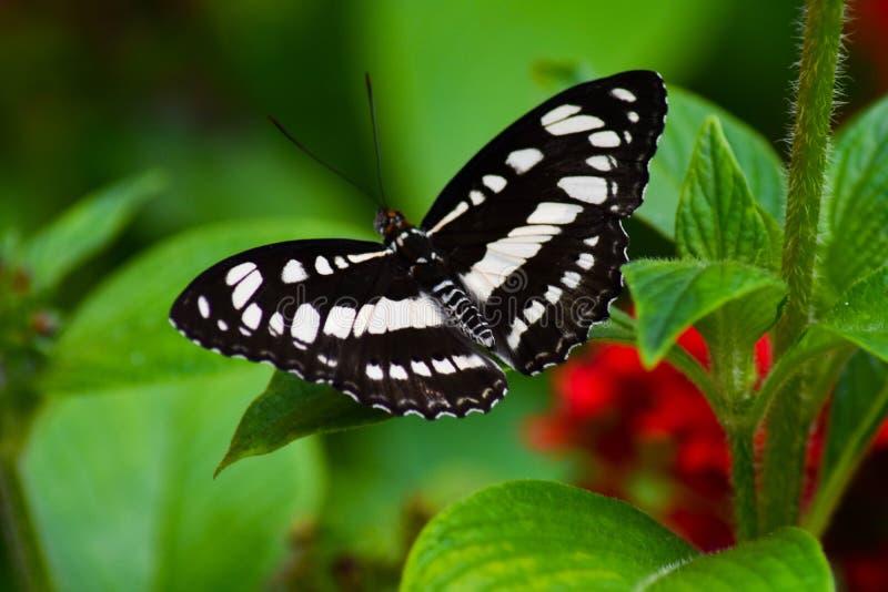 Beau papillon noir et blanc images libres de droits