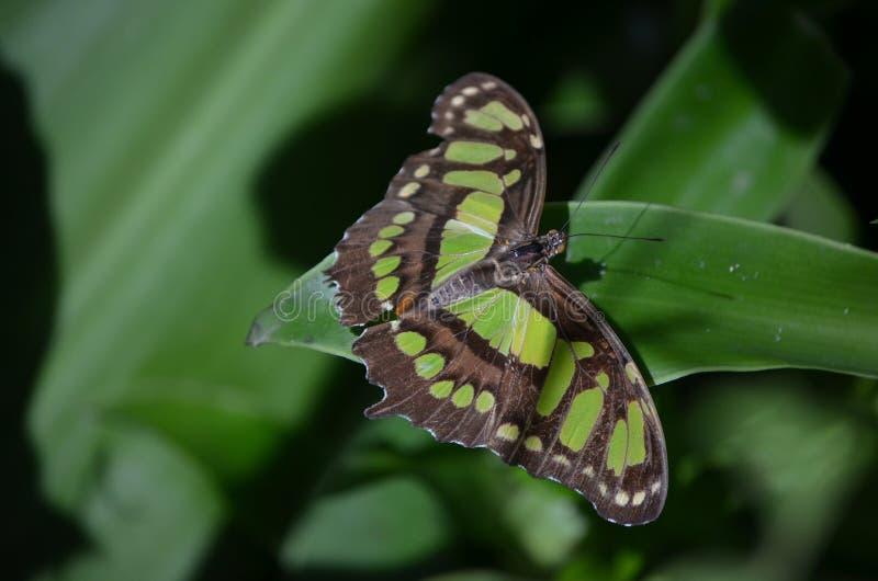 Beau papillon noir et vert de malachite sur une feuille image stock