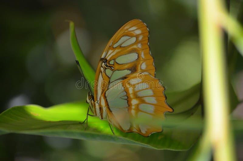 Beau papillon noir et vert de malachite sur une feuille photos libres de droits