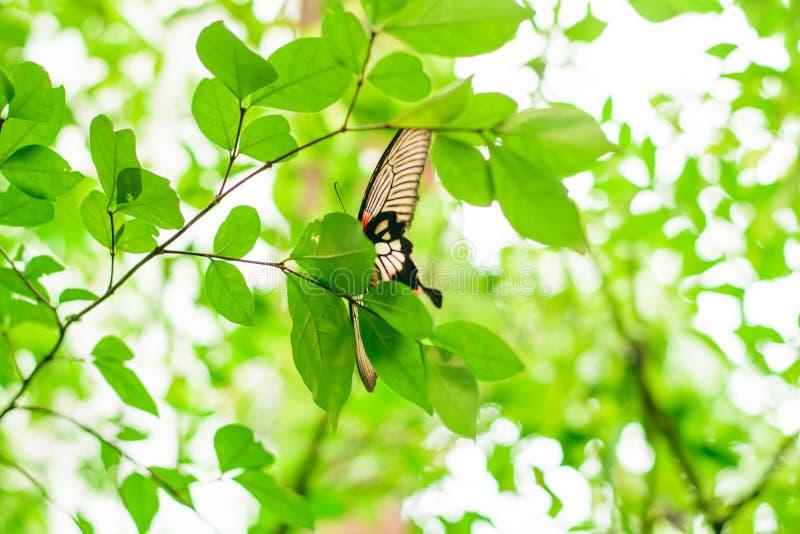 Beau papillon noir sur une feuille photographie stock