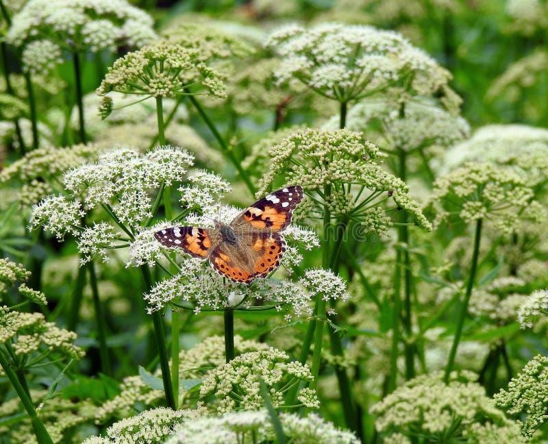 Beau papillon orange sur la fleur sauvage blanche, Lithuanie photographie stock