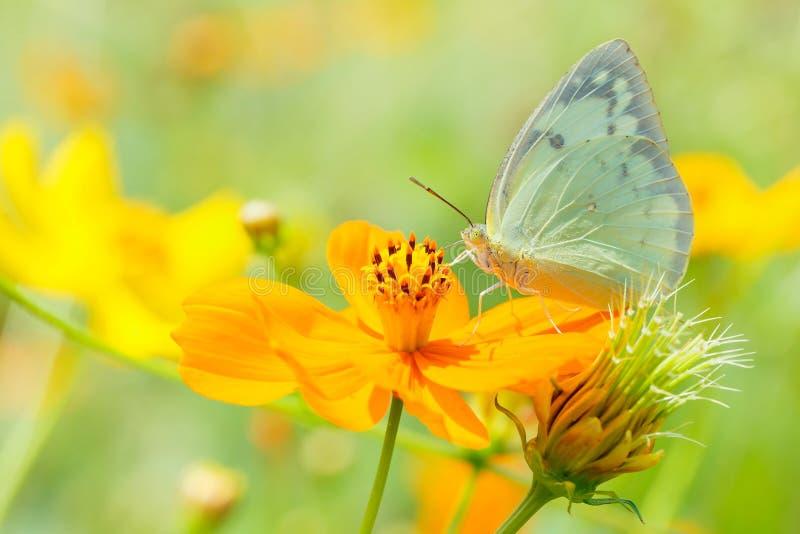 Beau papillon sur la tache floue orange de fond de fleur photos libres de droits