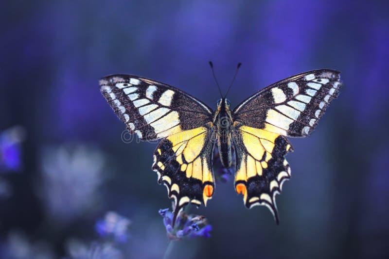 Beau papillon sur le gisement de fleurs de lavande photo libre de droits