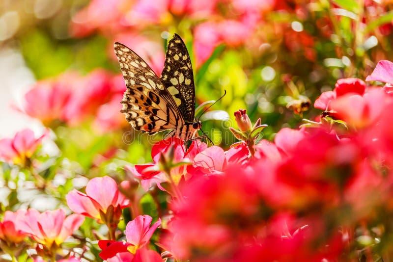 beau papillon sur une fleur d'oleracea de Portulaca image libre de droits