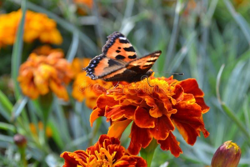 Beau papillon sur une fleur rouge pendant l'automne photographie stock libre de droits