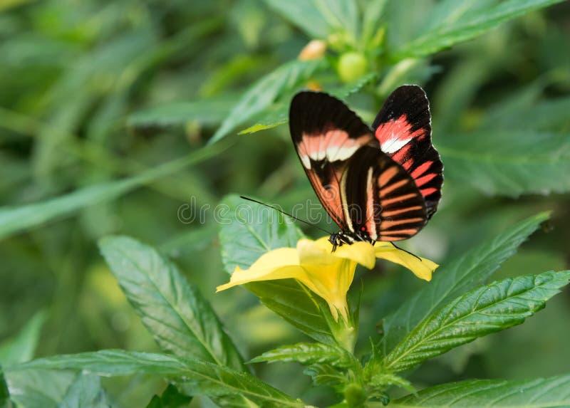 Beau papillon tropical se reposant sur une fleur images stock