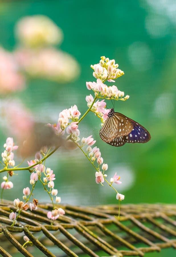 Beau papillon vitreux bleu de tigre dans un jardin image libre de droits