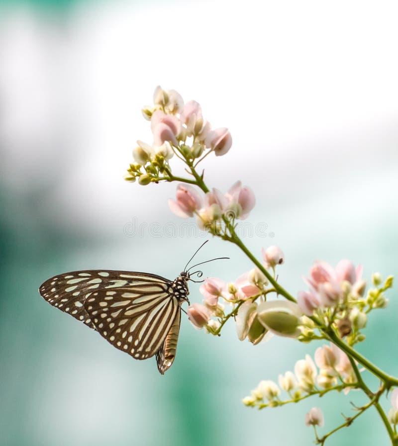 Beau papillon vitreux bleu de tigre dans un jardin photos stock