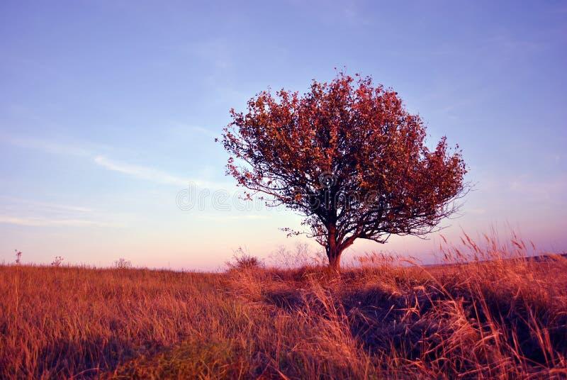 Beau paysage égalisant, ciel pourpre-bleu, pommier isolé dans le pré d'herbe photos libres de droits