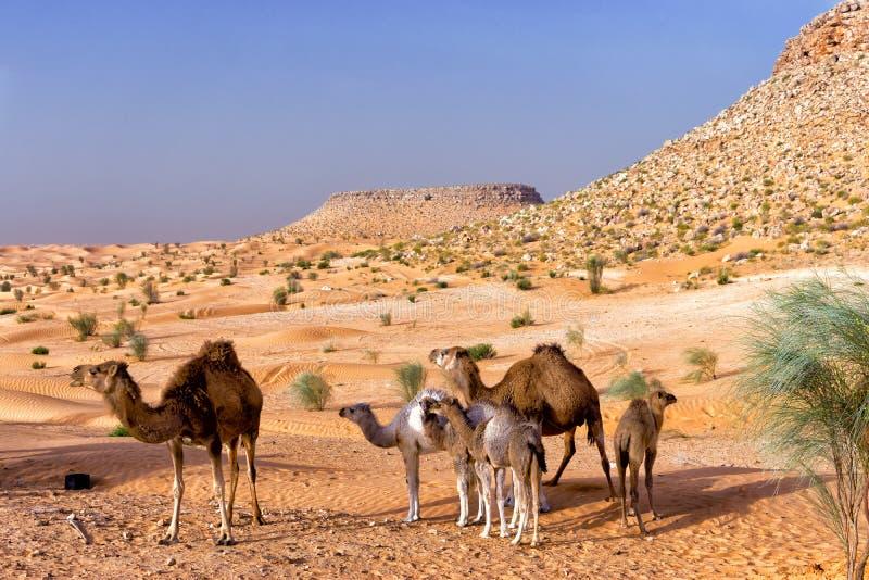 Beau paysage avec les chameaux et Sahara Desert en Tunisie photographie stock libre de droits