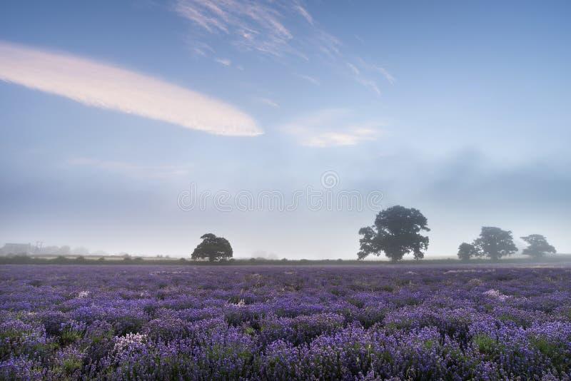 Beau paysage brumeux dramatique de lever de soleil au-dessus du gisement i de lavande image libre de droits