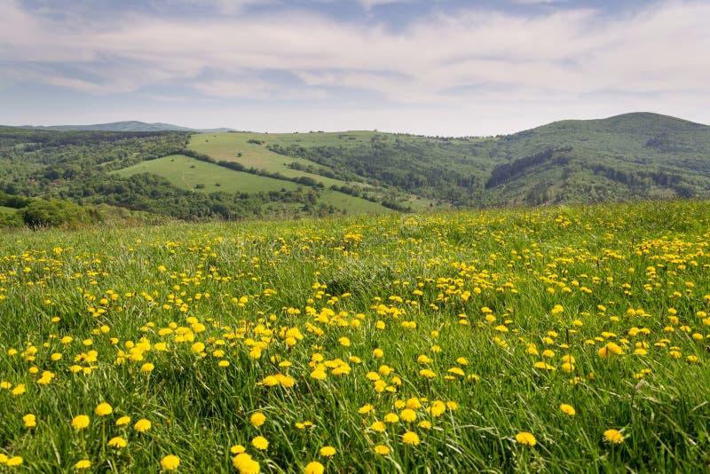Beau paysage d'été avec les pissenlits jaunes de floraison, les Carpathiens blancs dans les républiques de fond, tchèques et slov photographie stock libre de droits