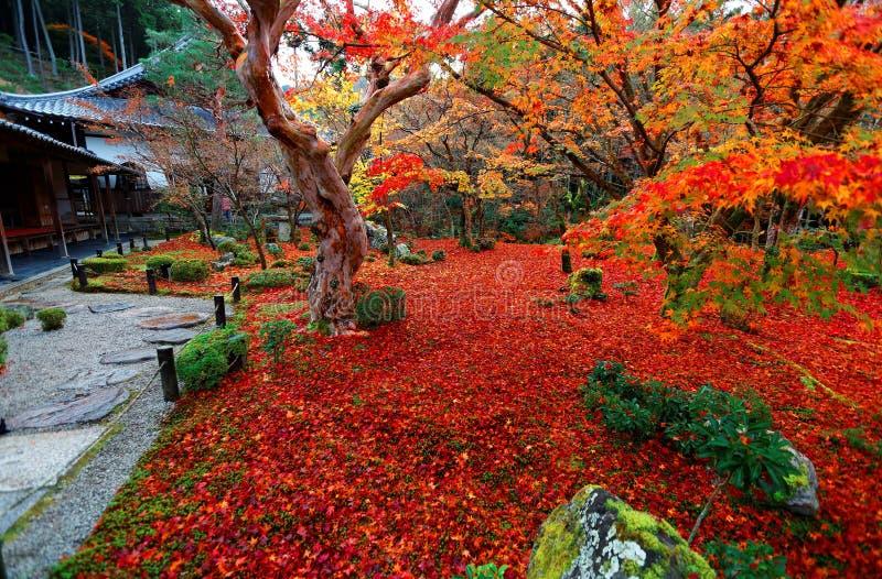 Beau paysage d'automne des arbres d'érable ardents et d'un tapis rouge des feuilles tombées dans le jardin japonais d'Enkoji images stock
