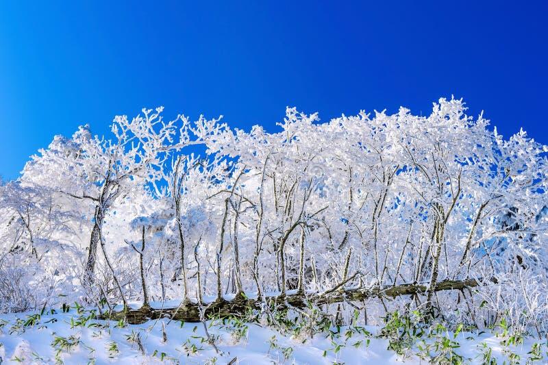 Beau paysage d'hiver, arbres couverts de neige blanche image libre de droits