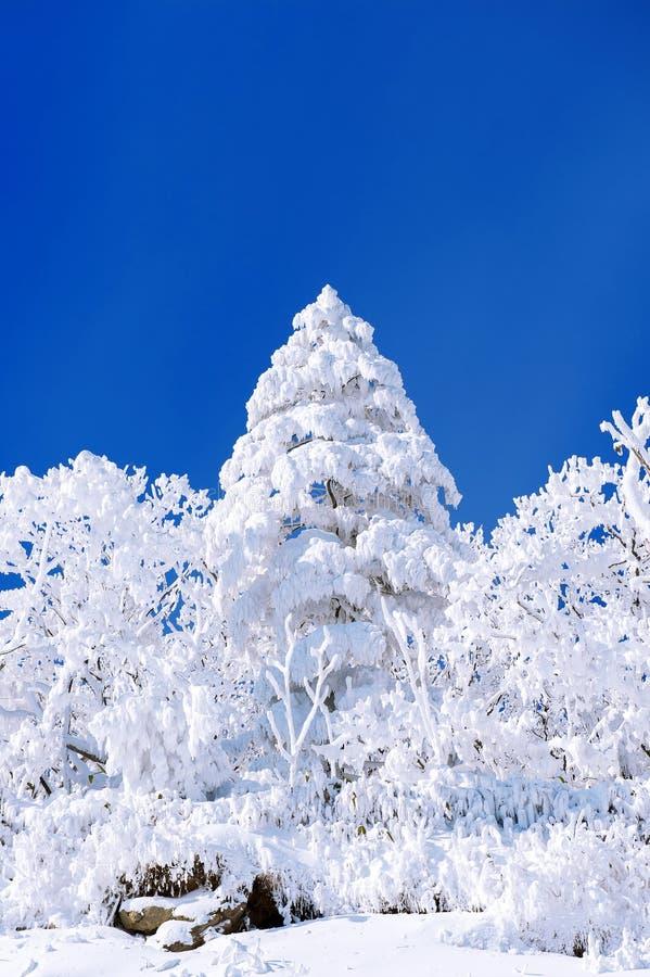 Beau paysage d'hiver, arbres couverts de neige blanche images stock