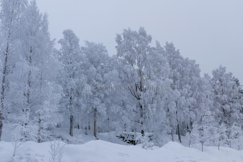 Beau paysage d'hiver avec le gel épais couvrant un certain bouleau images libres de droits