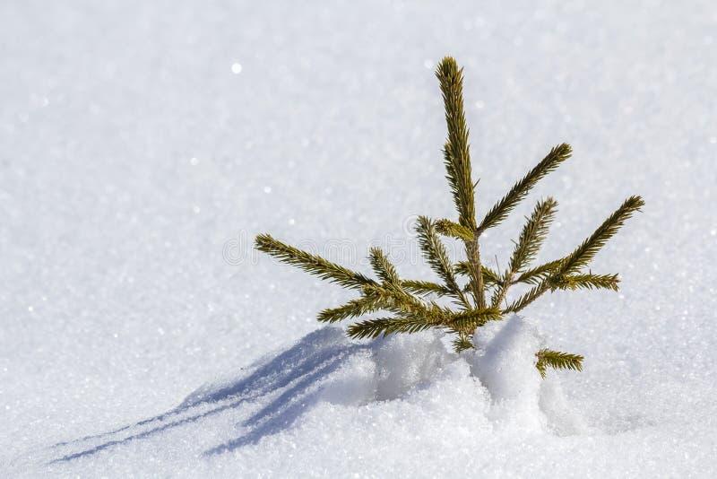 Beau paysage d'hiver de Noël Petite jeune offre verte f photographie stock libre de droits