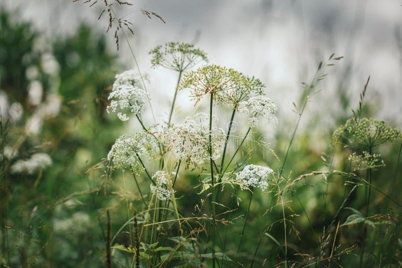 Beau paysage dans le domaine Le podagraria d'aegopodium de fleur blanche, évêques sarclent, aîné goutweed et moulu sur le fond ve photos stock