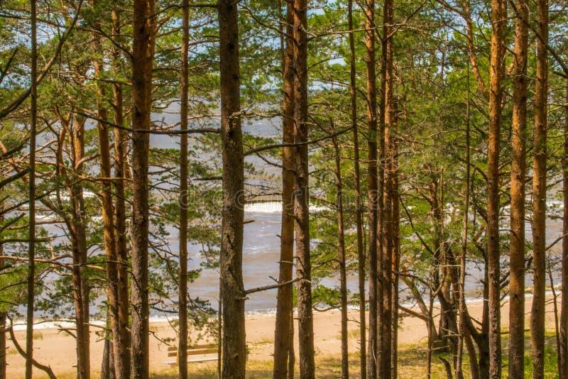 Beau paysage de la côte de mer baltique avec des pins en premier plan et ciel bleu clair image stock