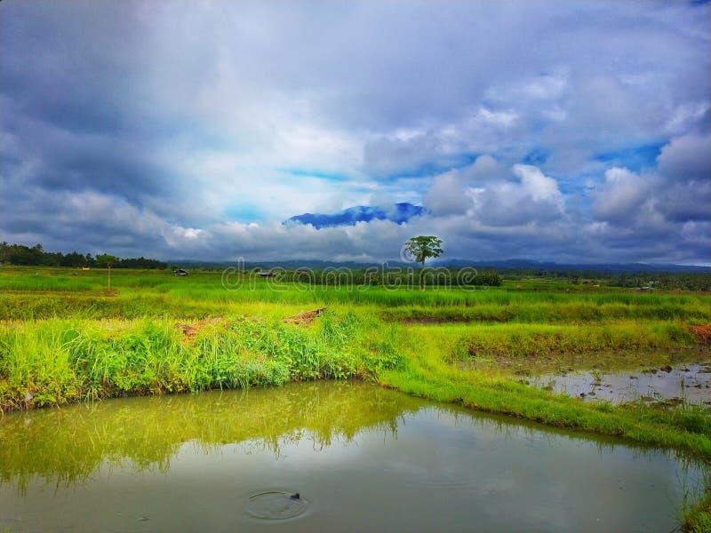 Beau paysage de paddy de gisement de riz images libres de droits