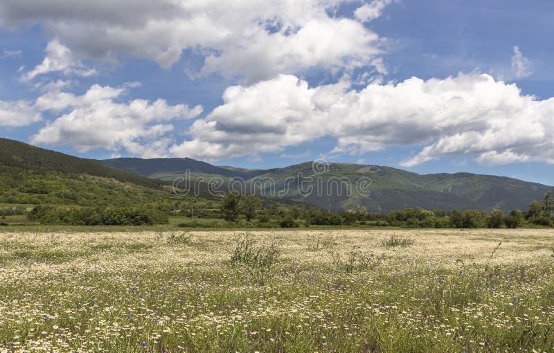 Beau paysage, gisement de fleur de camomille d'été, hautes montagnes vertes, beau ciel bleu avec de grands nuages blancs image stock