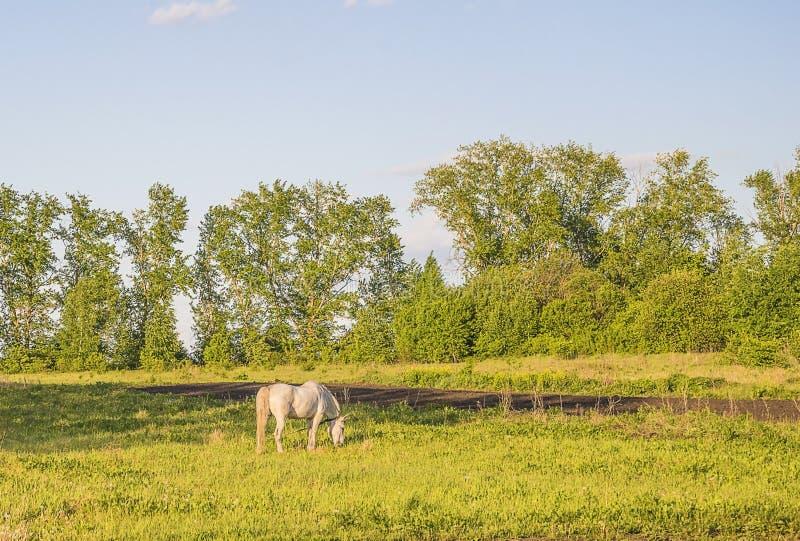 Beau paysage rural avec le cheval blanc sur le pâturage images stock