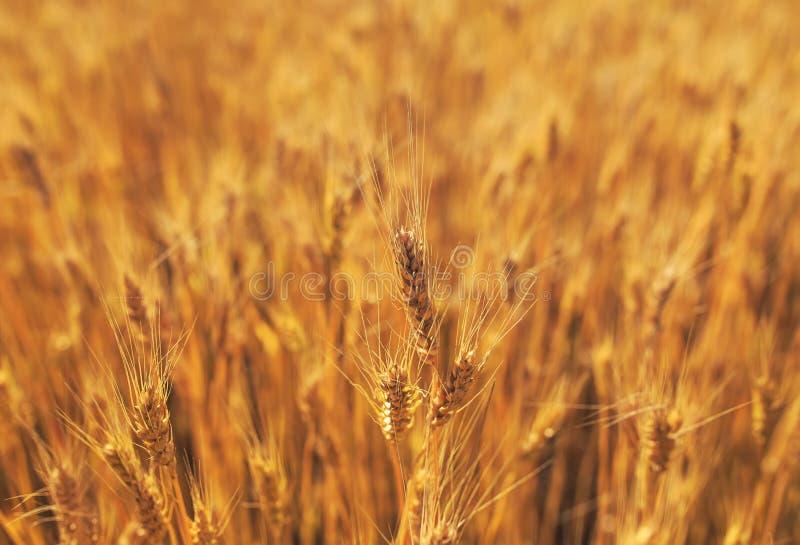 Beau paysage rural naturel avec un champ des oreilles d'or du blé mûries un jour ensoleillé d'été chaud images libres de droits