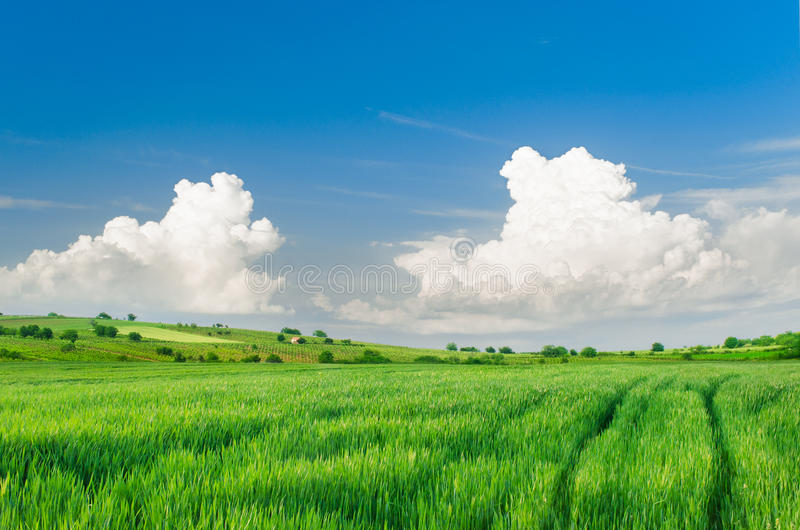 Beau paysage vert de champ de blé images stock