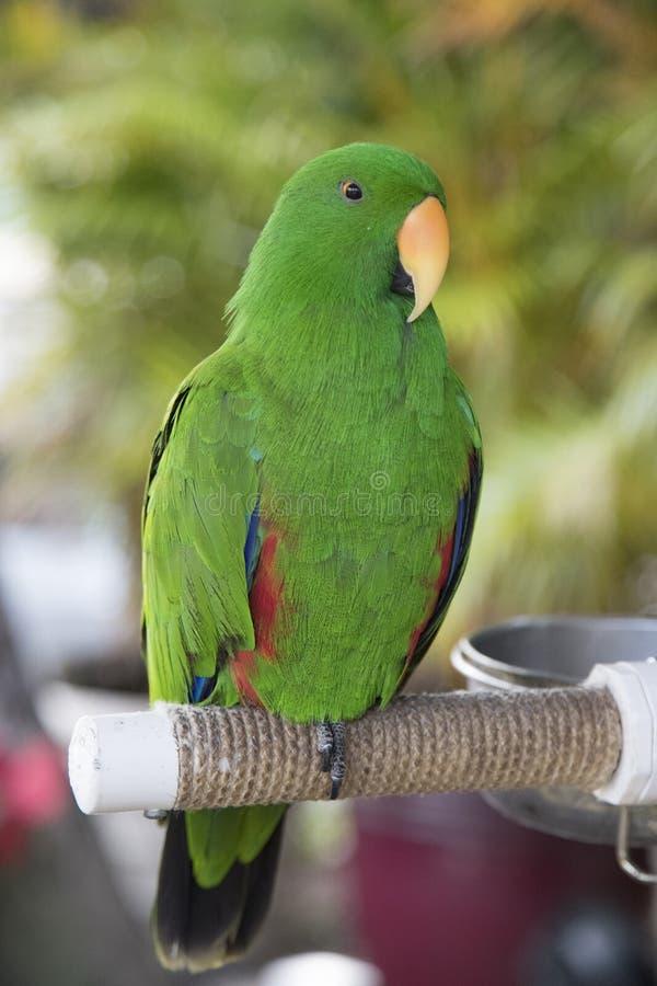 Beau perroquet vert coloré se reposant sur la perche dans Maui Hawaï images stock