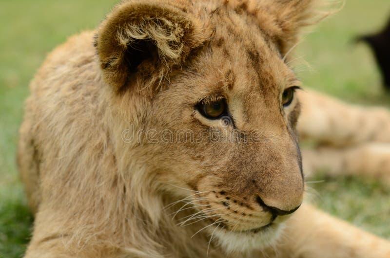 Beau petit animal de lion africain photo stock