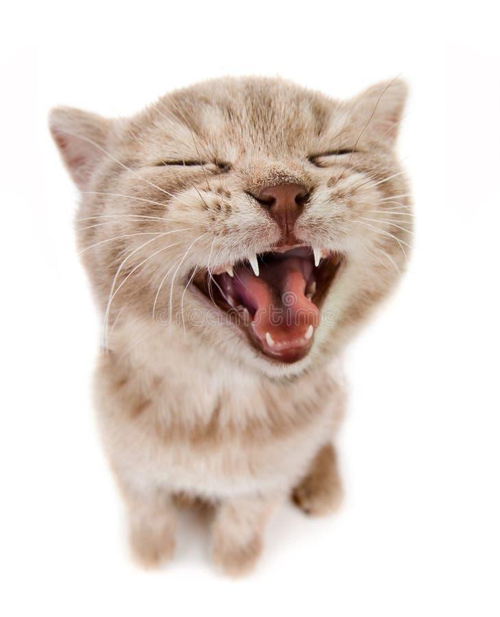 Beau petit chaton brun images stock