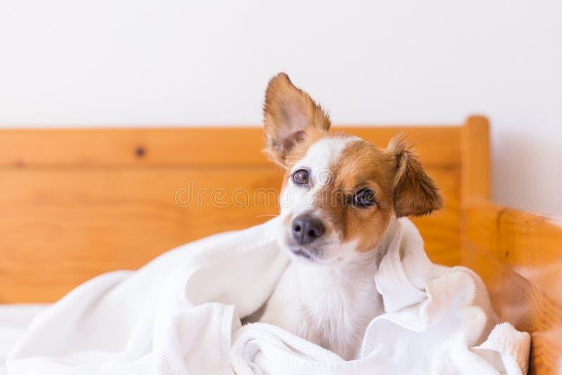 beau petit chien mignon obtenant sec avec une serviette blanche dans la salle de bains Maison indoors photos libres de droits