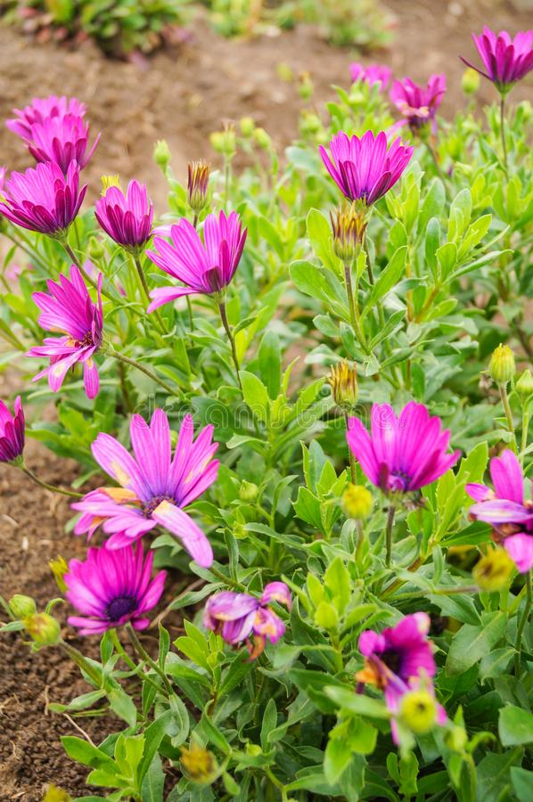 Beau petit fond violet pourpre de pré de fleurs image stock