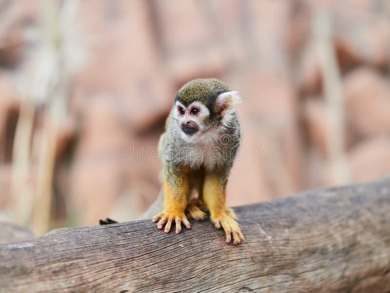Beau petit singe au parc Loro Parque, Ténérife, Îles Canaries, Espagne de Loro photographie stock