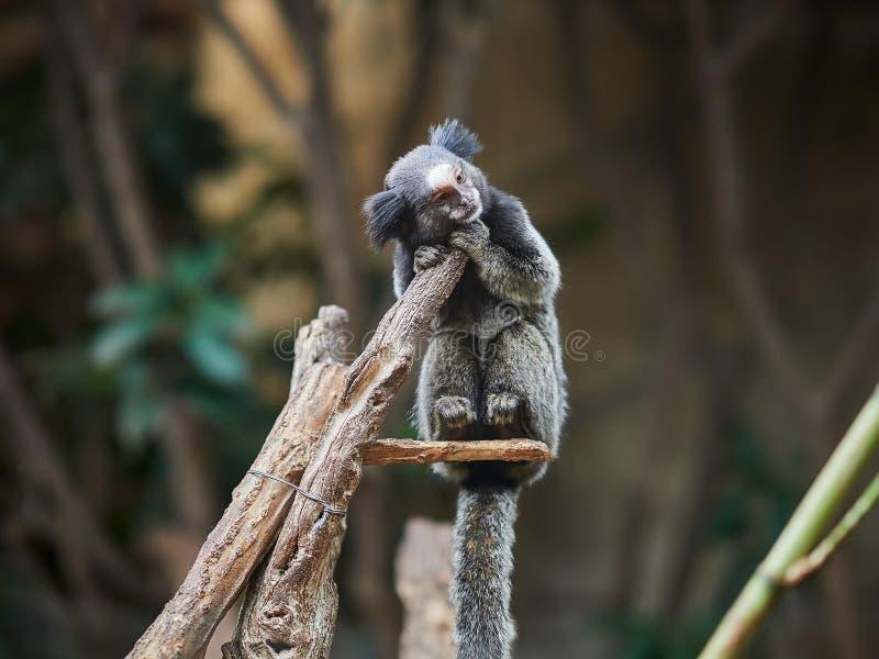 Beau petit singe au parc Loro Parque, T?n?rife, ?les Canaries, Espagne de Loro images stock