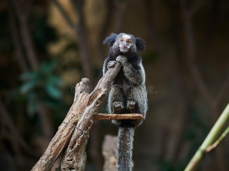 Beau petit singe au parc Loro Parque, T?n?rife, ?les Canaries, Espagne de Loro image stock